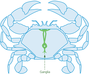 A top-view diagram of a crab showing the internal ganglia stretching from the head almost to the tail through the centre of the body.