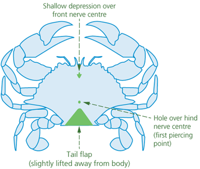 A top-view diagram of a crab on its back showing a shallow depression over the front nerve centre near the head, a hole over the hind nerve centre (first piercing point) near the tail, and the tail flap (slightly lifted away from the body).