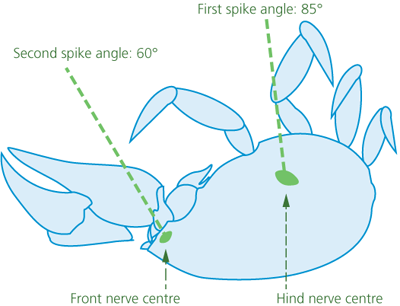 A side-view diagram of a crab on its back showing the first spike angle of 85 degrees into the hind nerve centre and the second spike angle of 60 degrees into the front nerve centre.