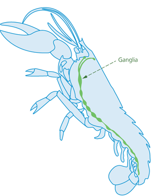 A cross-section diagram of a lobster shows the internal ganglia stretching from the head, around the underside of the abdomen to the tail.