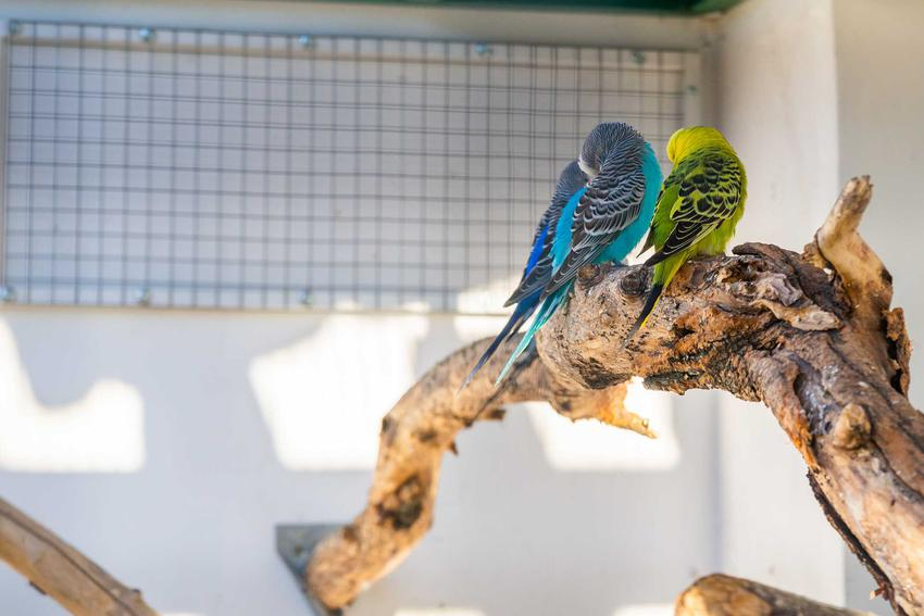 Budgies roosting on branch in enclosure