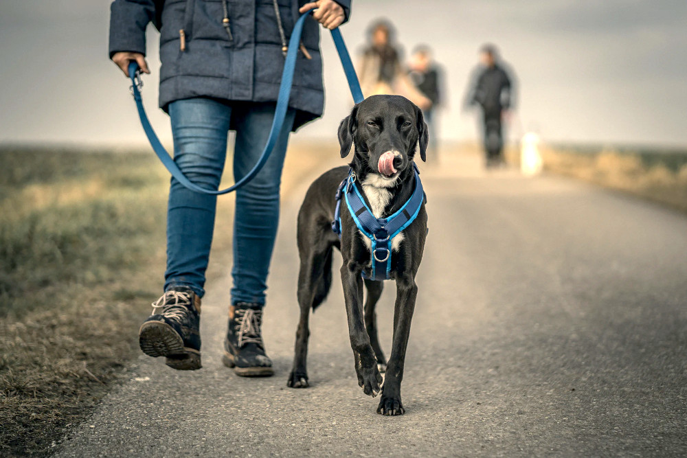 What equipment should I use when teaching my dog or puppy to walk on a leash? – RSPCA Knowledgebase