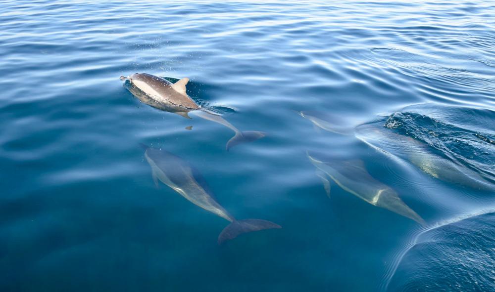 Dolphin Pod in the Ocean