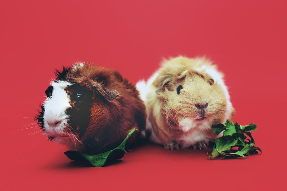 What Should I Feed My Guinea Pigs Rspca Knowledgebase