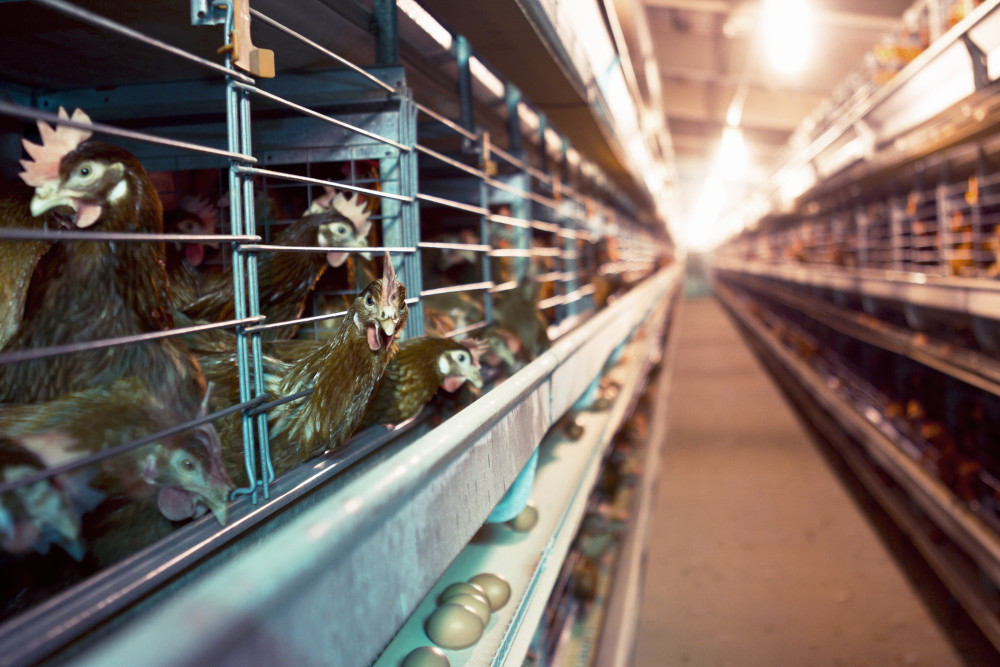 Hens Battery Cages