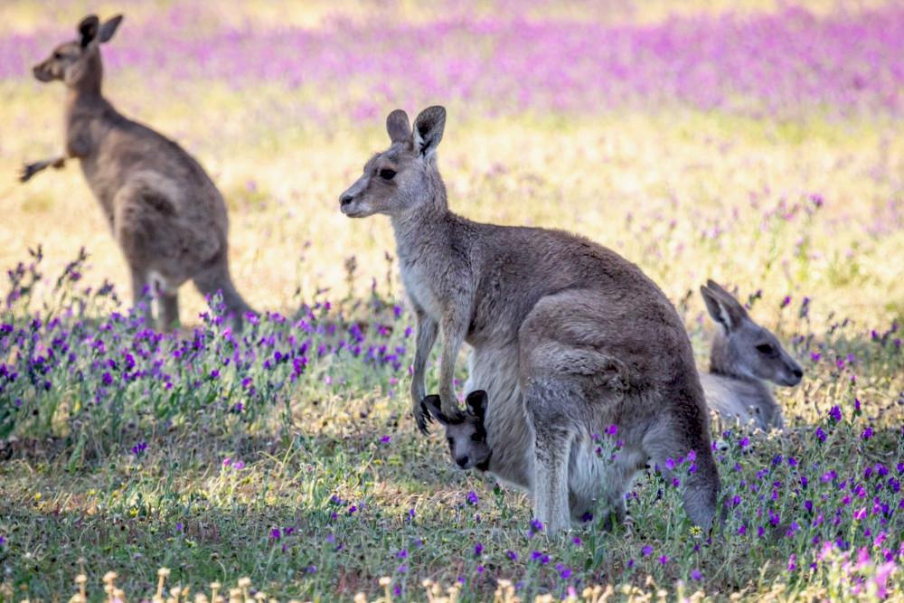 Kangaroos field echium