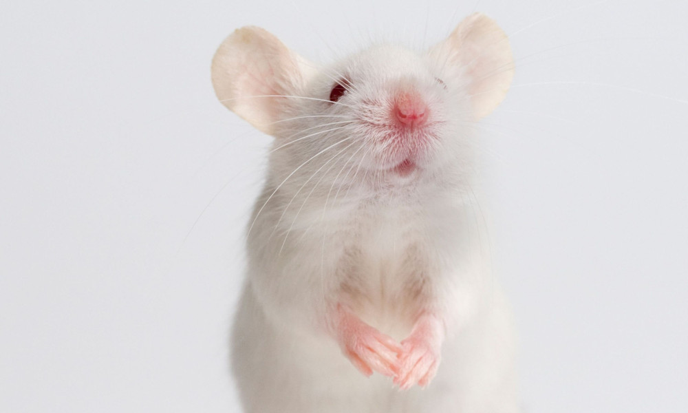 White mouse animal testing