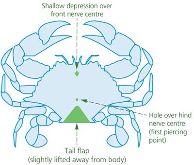 crab-ganglia-for-spiking-undersize