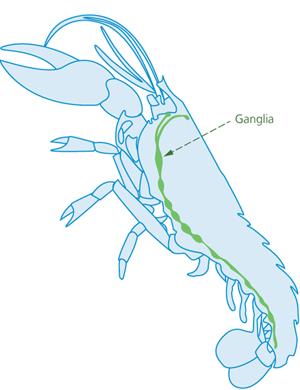 lobster-ganglia