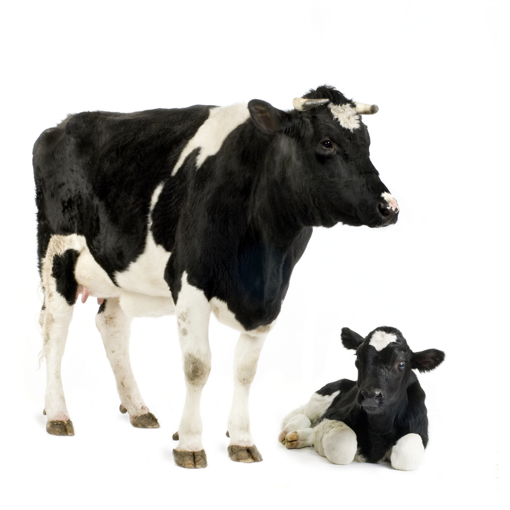 Cow and sitting calf
