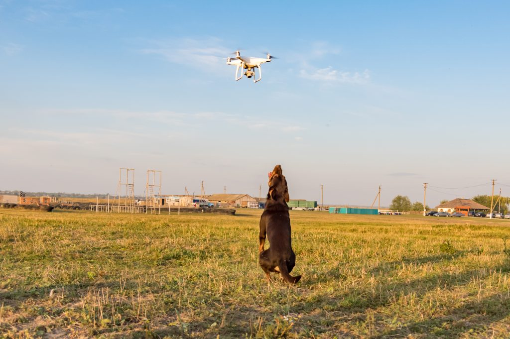 Kelpie looking at hovering drone