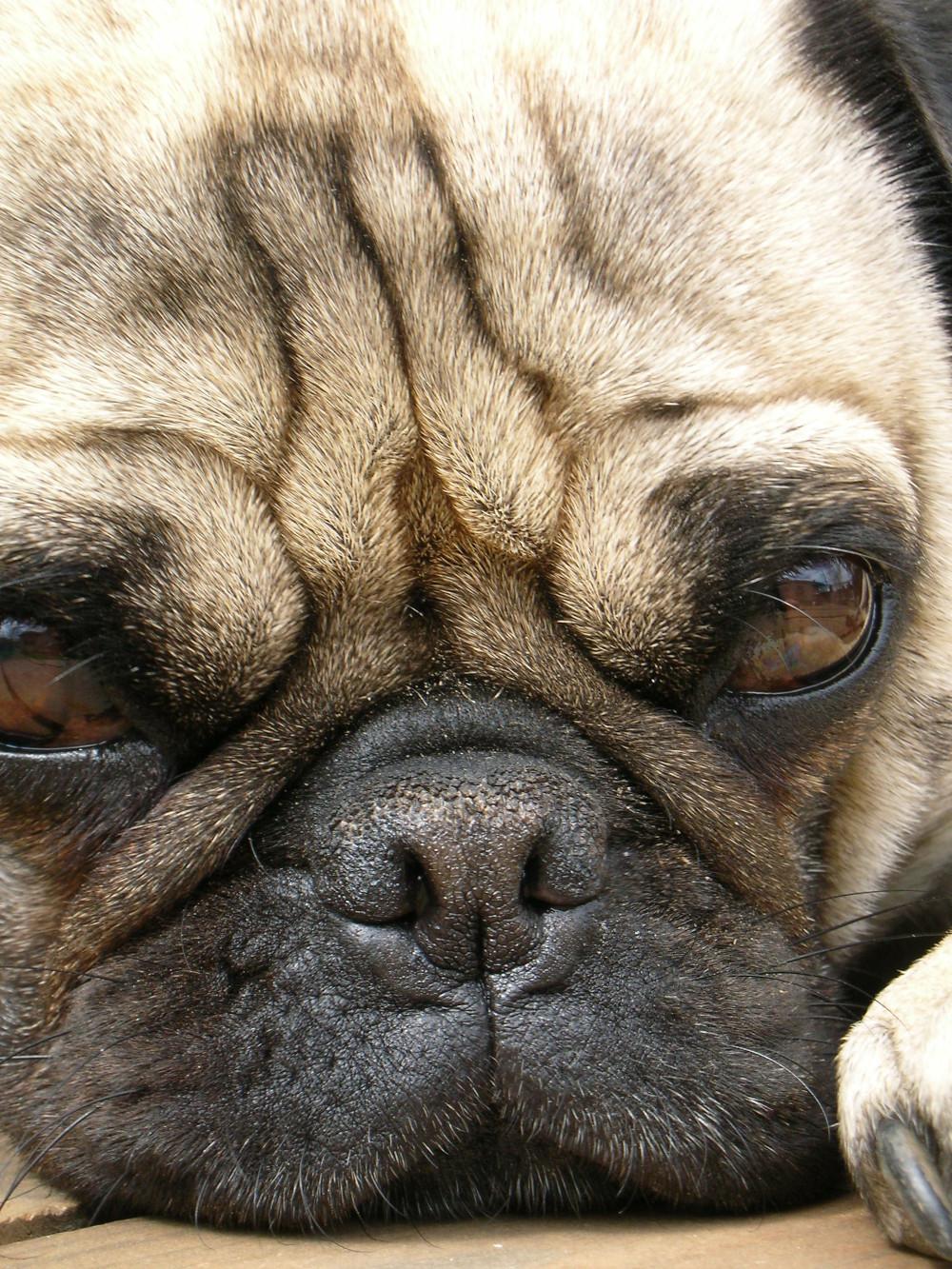 Dog Nostrils Brachycephalic