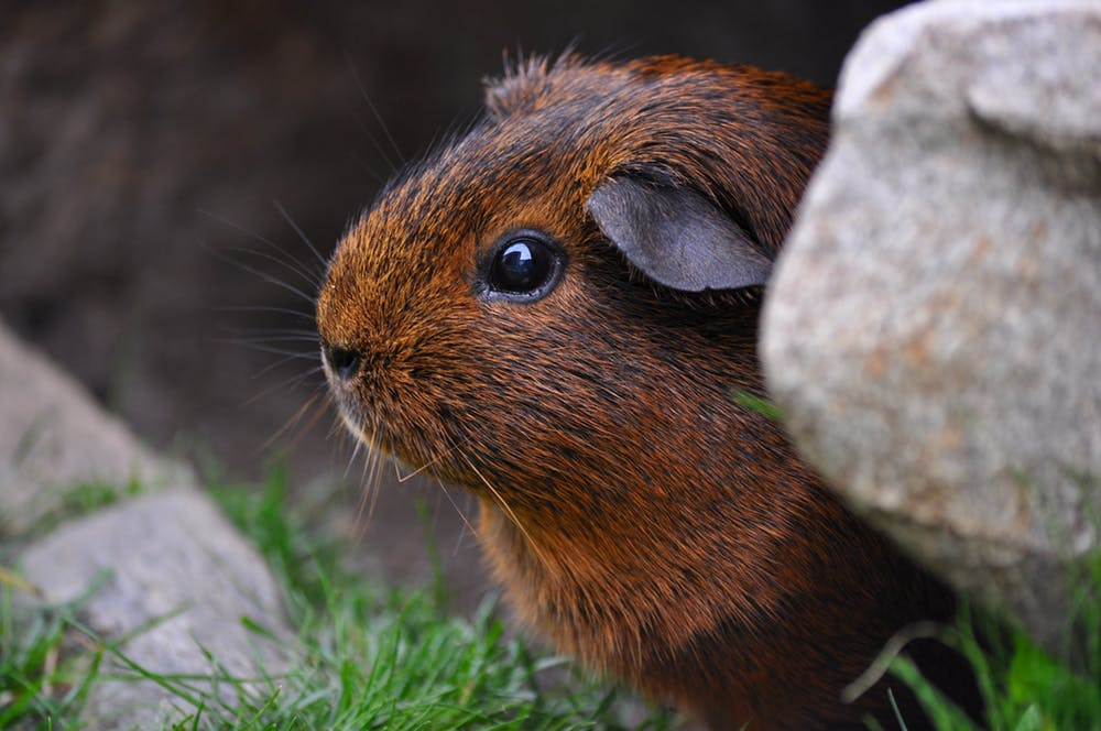 What do I need to know about my guinea pigs' health? – RSPCA