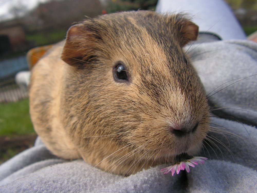 Housing Do Guinea Pigs Need, Can You Use Timothy Hay For Guinea Pig Bedding