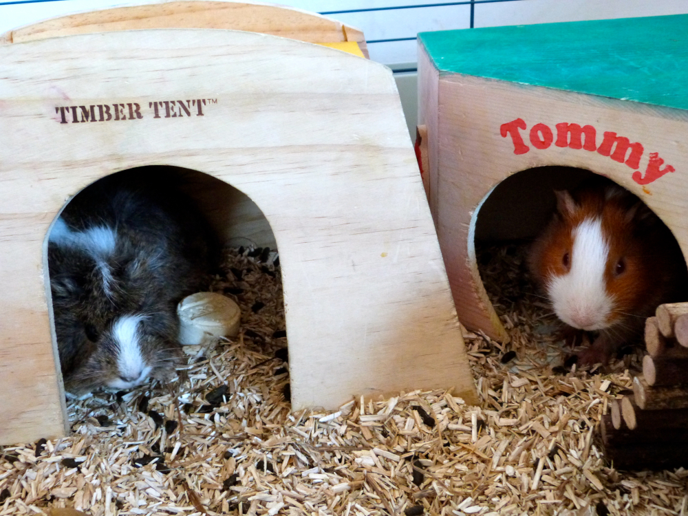 Housing Do Guinea Pigs Need, Can I Use Hay For Guinea Pig Bedding