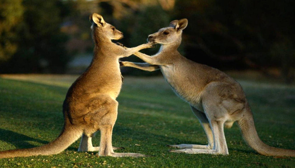 young-kangaroos-peri-urban-area