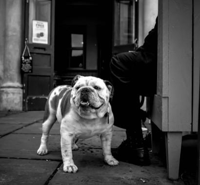 Brachy English Bulldog