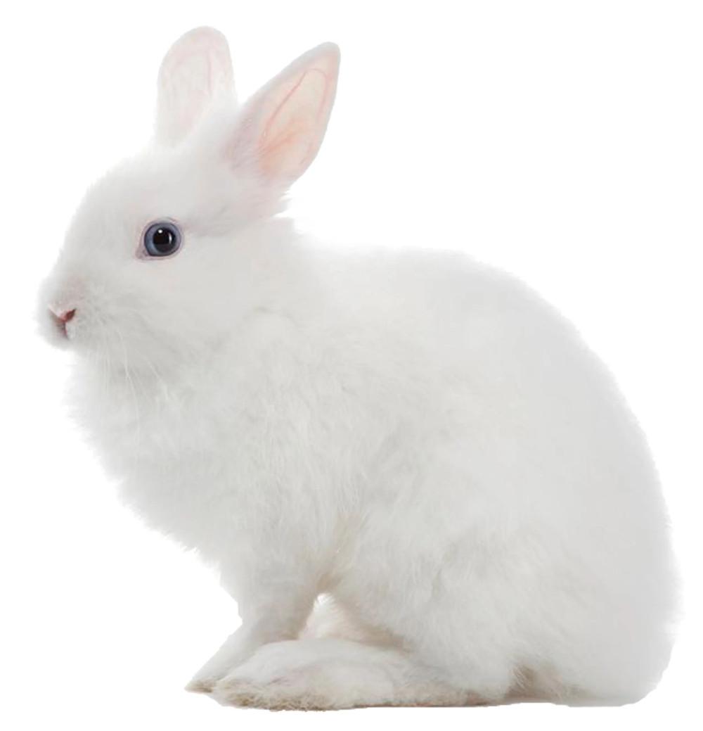 White rabbit animal testing