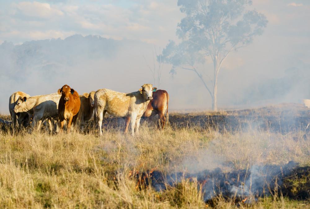 Cattle near fire